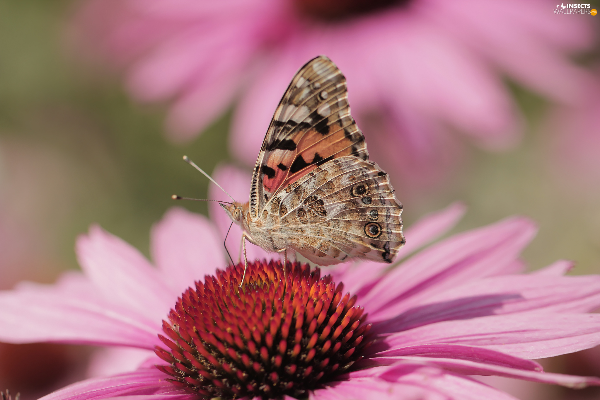 Insect Painted Lady Colourfull Flowers Echinacea Close