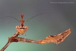 Sibylla Pretiosa - Cryptic Mantis - Mozambique