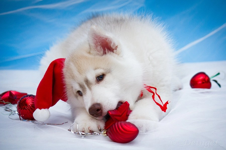 Adorable Huskies Dressed For Christmas Inside Dogs World