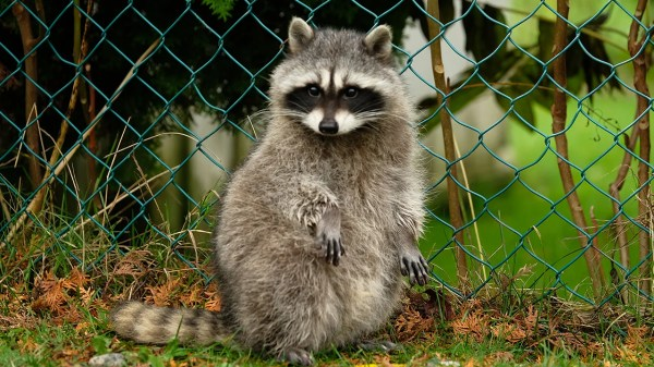 Wild Raccoon Moves Into German Zoo and Keepers Can't Evict ...