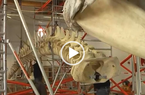 VIDEO Potvis | Natuur Museum Brabant