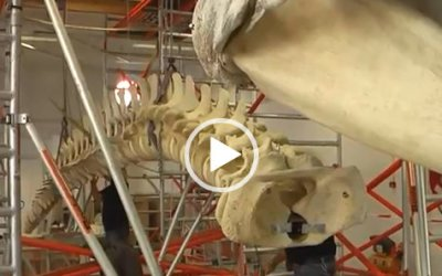 VIDEO Potvis   Natuur Museum Brabant