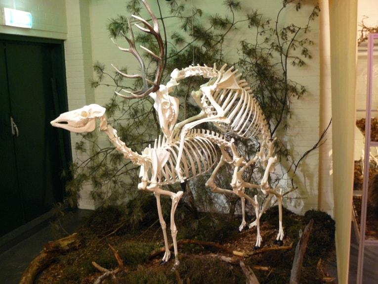 Skeletten | Edelherten | Holterberg