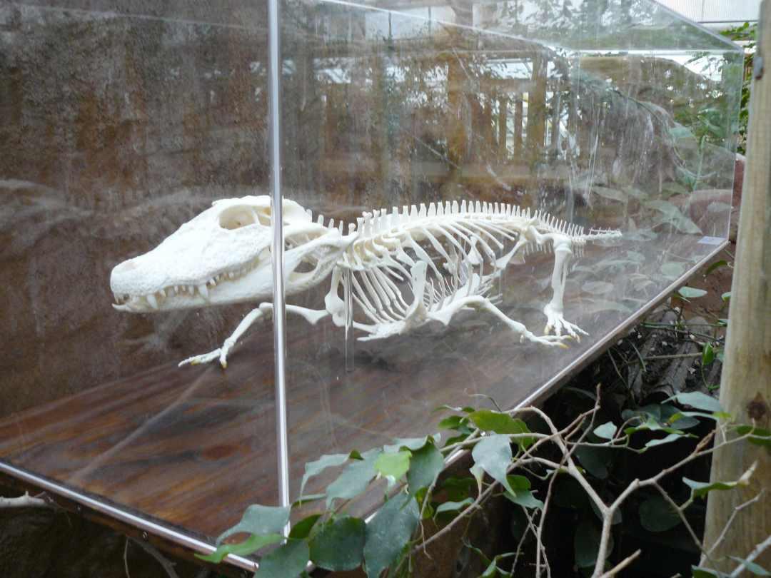 Skeletten   Kaaiman   Rotterdams Natuur Museum