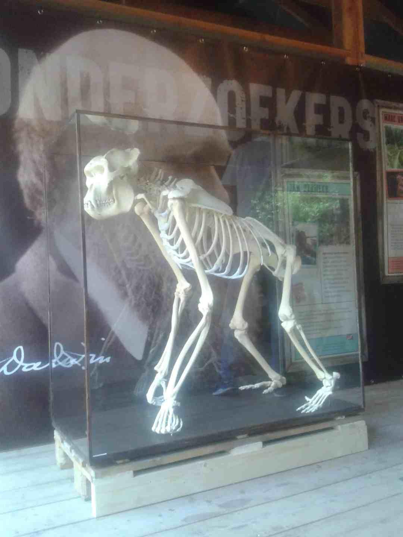 Skeletten | Gorilla (Zilverrug) II | Apenheul Primate Park