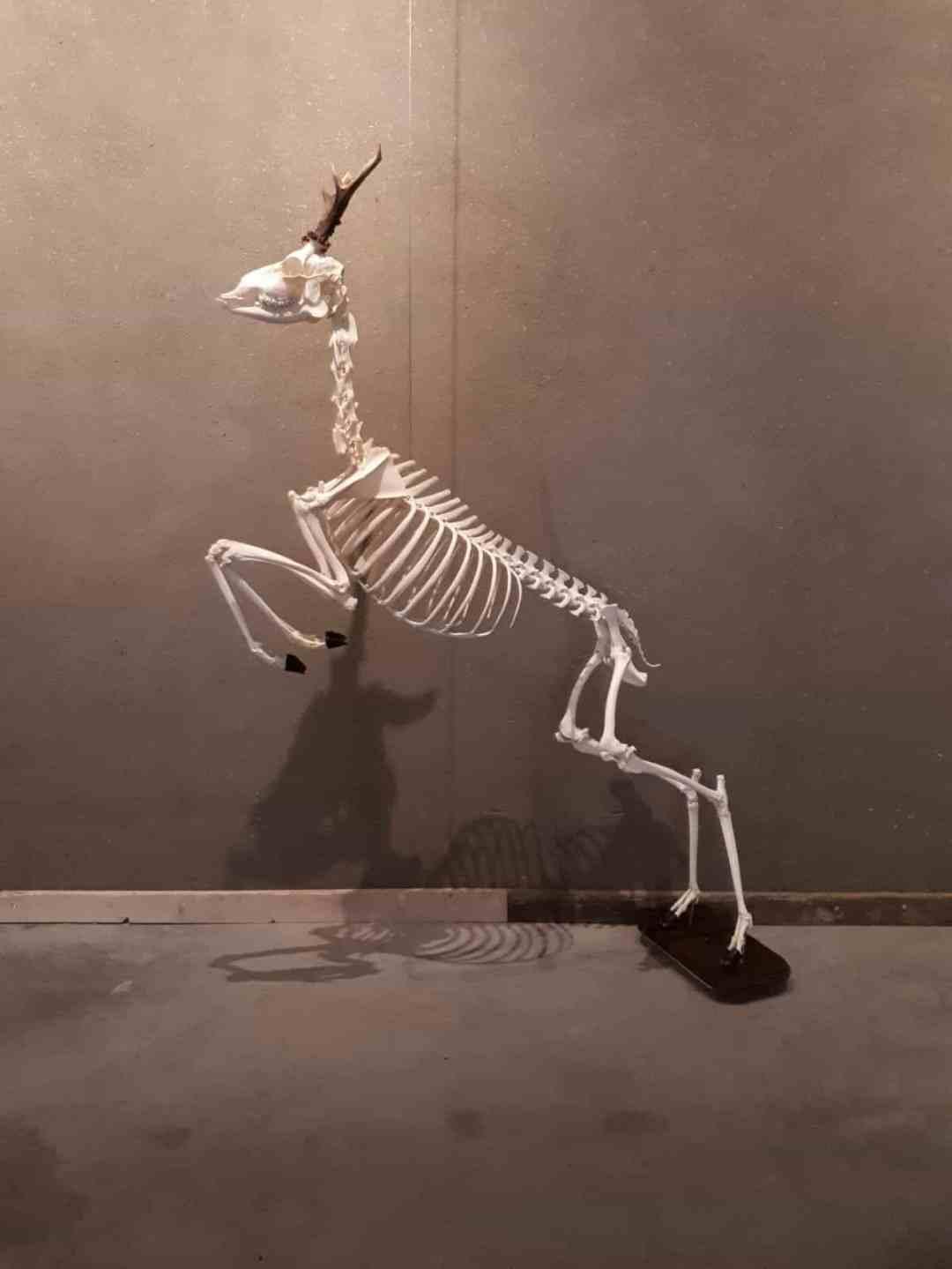Skeletten | Springend Ree | Limburghuis GAIA Zoo