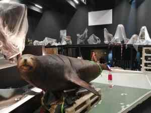 restauratie van zeeleeuw Naturalis