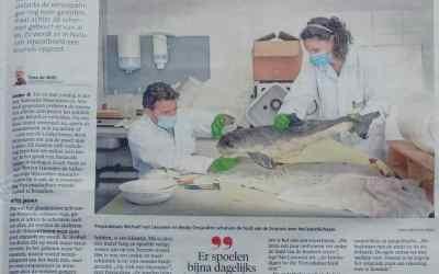 Leidsche Courant | Opzetten van een kleine tandwalvis-achtige, de bruinvis! | Naturalis Biodiversity Center