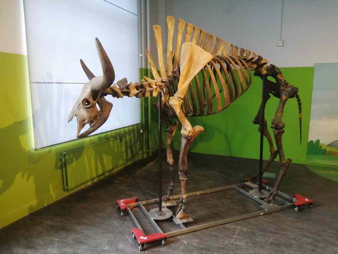 Fossielen & Dinosauriërs | Demonteren en verplaatsen steppenwisent | Brabants Natuurmuseum Tilburg