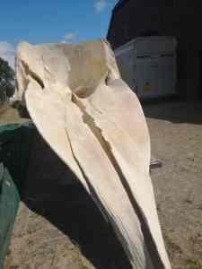 Skeletten | prepareren schedel potvis voor Naturalis Biodiversity Center