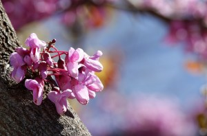 Jenny Downing's beautiful image of a Judas tree in flower.