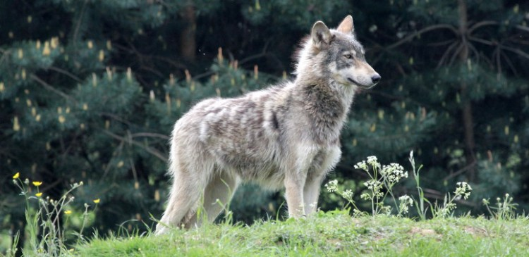 A new studysuggests that legal wolf hunting may lead to more illegal kills.