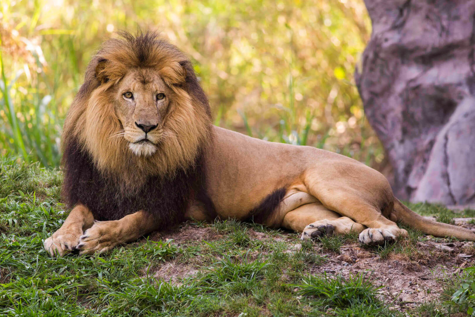 Busch Gardens Tampa celebrates World Lion Day with lion-inspired ...