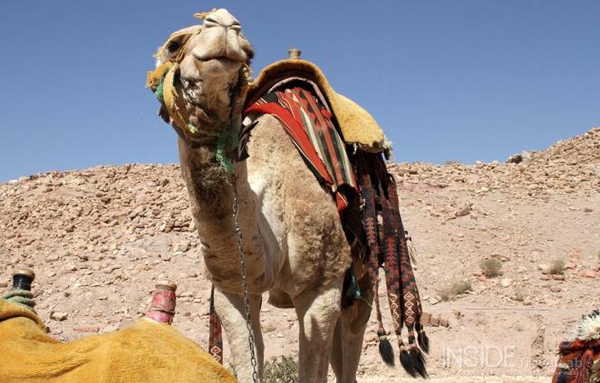 Camel in Petra, Jordania