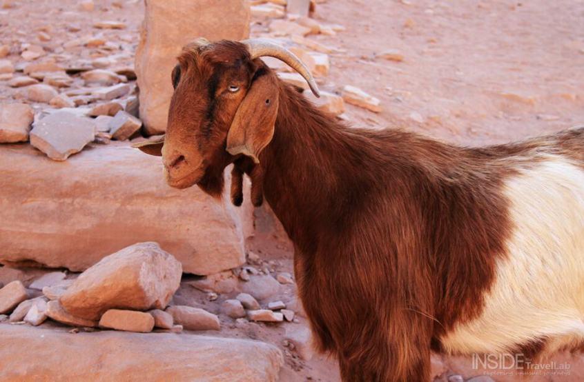 Goat in Petra, Jordania