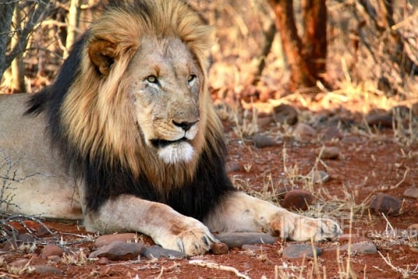 South African Lion 900