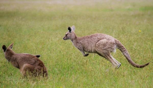 Cute Photos of Kangaroos hopping in Australia