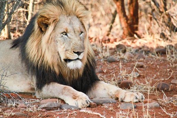 Lion in Makanyane Safari, Madikwe Game Reserve