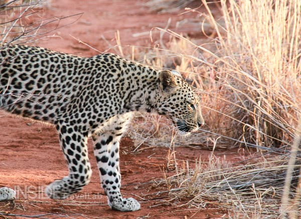 Leopard on safari at Makanyane Safari Lodge in Madikwe South Africa - Great for safari from @iinsidetravellab