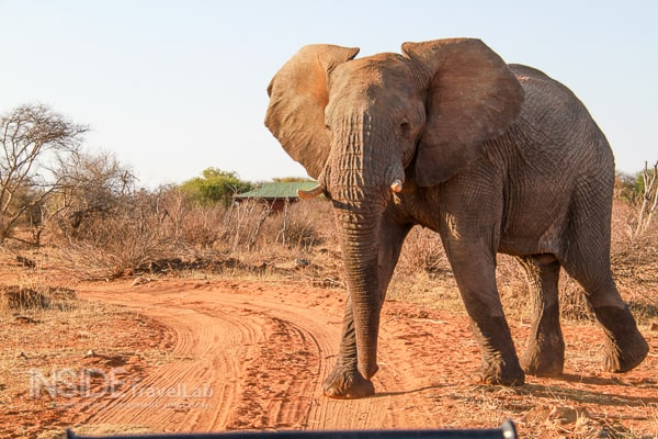 Elephant on safari in Madikwe Game Reserve