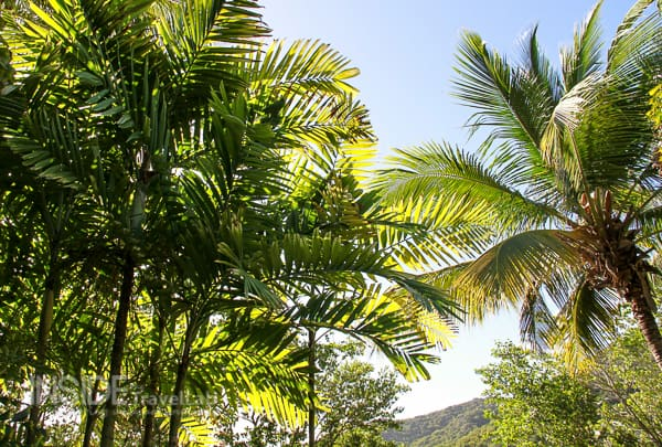Green palms in Antigua