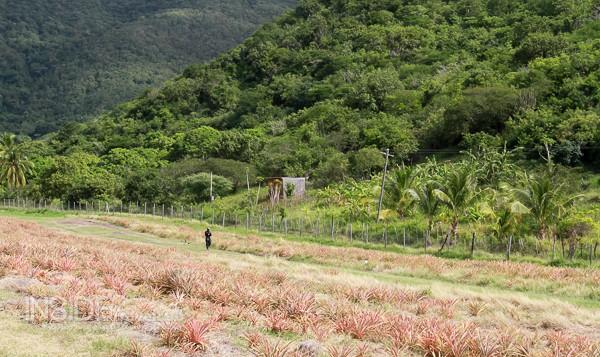 Pineapple field in Antigua