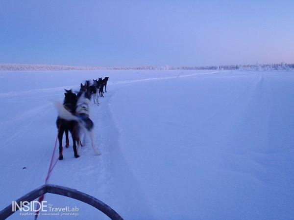 Huskies on an open track in Sweden