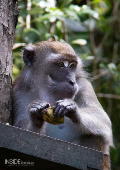 Silver monkey eyeing up orangutans in Borneo Rainforest