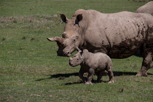 Endangered mother and baby rhino in Kenya via @insidetravellab