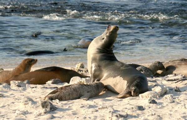 Sandy sea lions in Galapagos from @insidetravellab