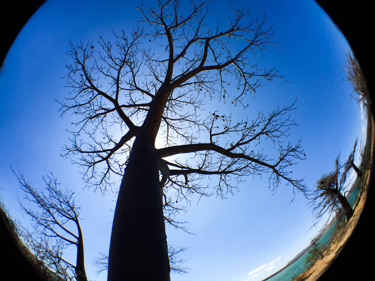 Baobab trees in Madagascar-looming overhead via @Inisdetravellab