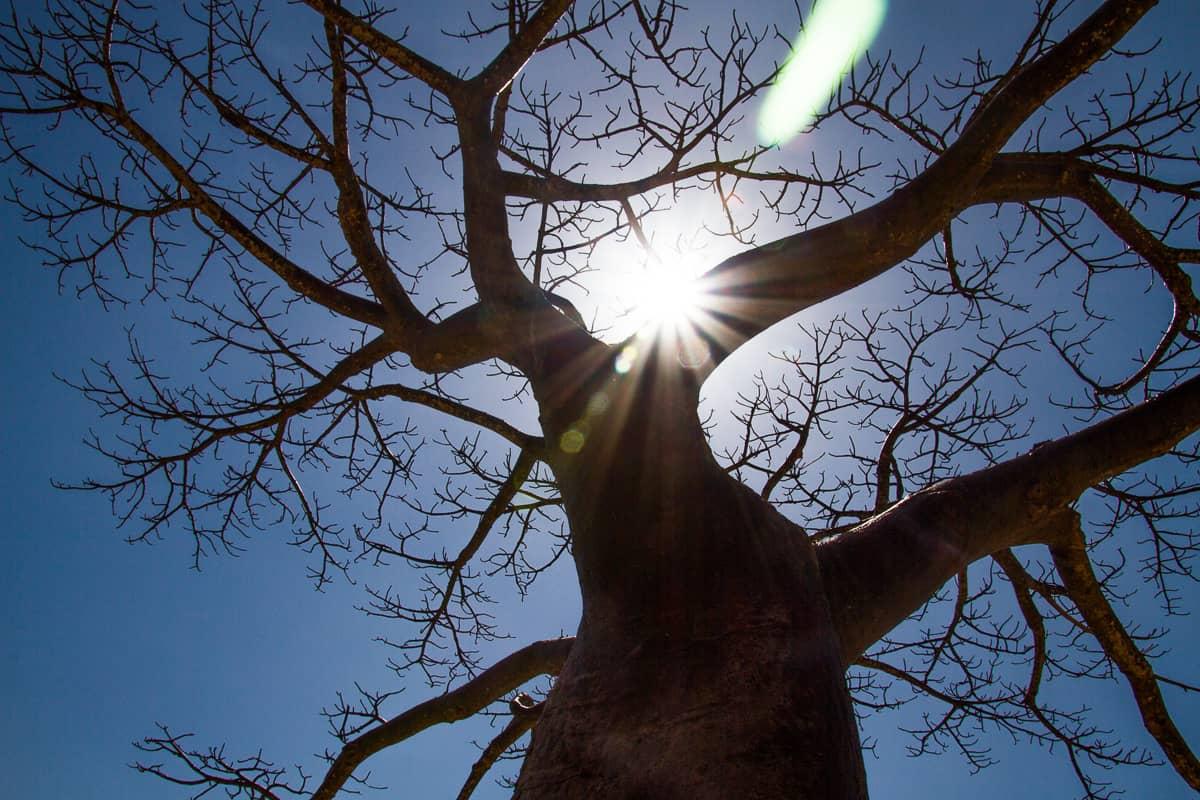 A beautiful Baobab Tree in Madagascar