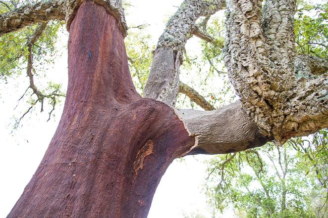 Cork Tree Alentejo Portugal