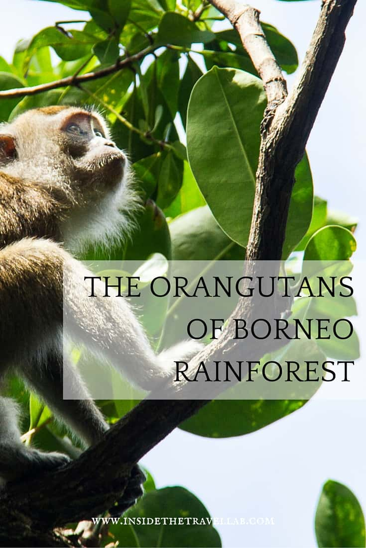 The Borneo rainforest is one of the few places where orangutans live in the wild. - via @insidetravellab