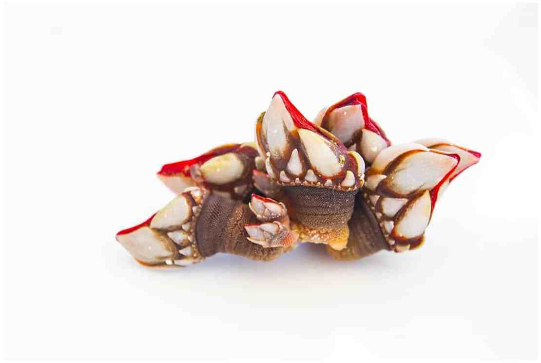 Percebes or goose barnacles from Galicia