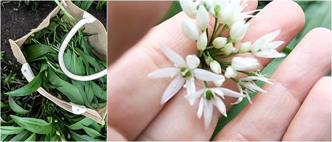 Wild Garlic Plant - a key ingredient in welsh food