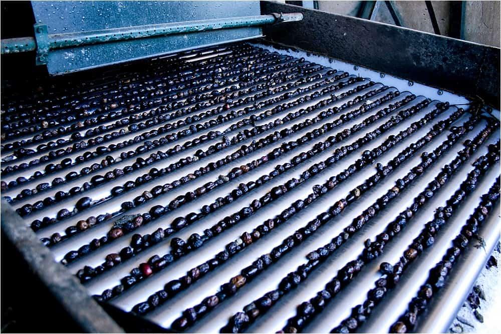 Harvesting olives in Spain