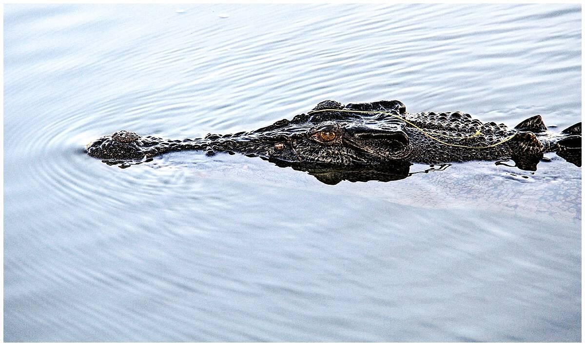 Kakadu park crocodiles - fast and deadly