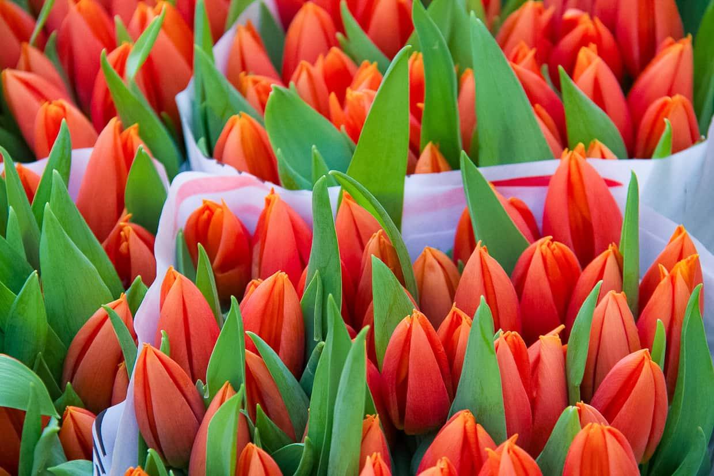 Tulips in Utrecht