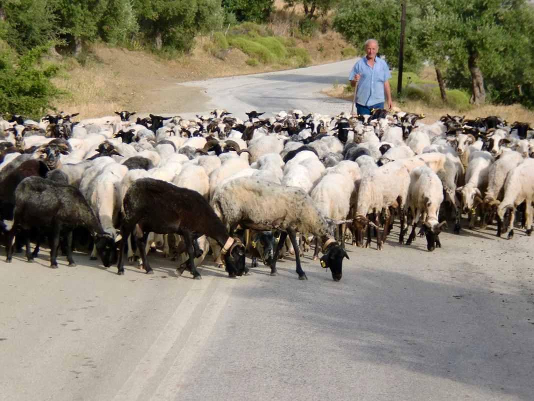 Samotrakhi Sheep