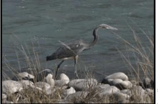 white bellied heron