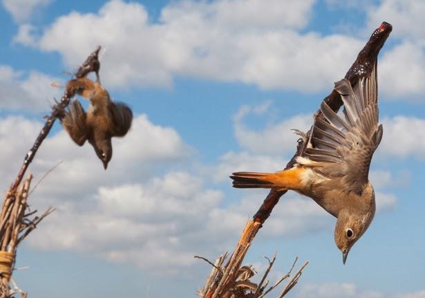songbird western ghats