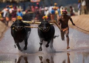 kambala-buffalo-race