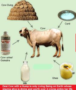 cow derivatives