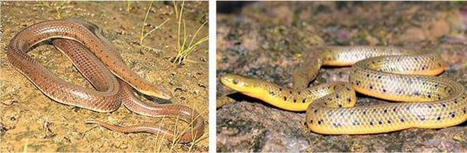 Western Ghats throw up a new snake
