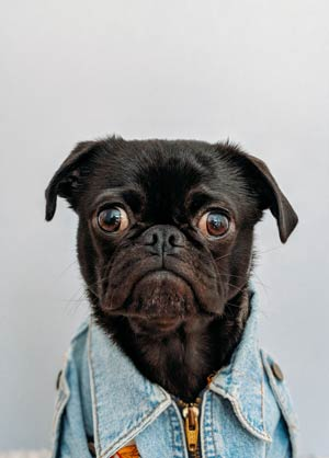 black pug is shocked