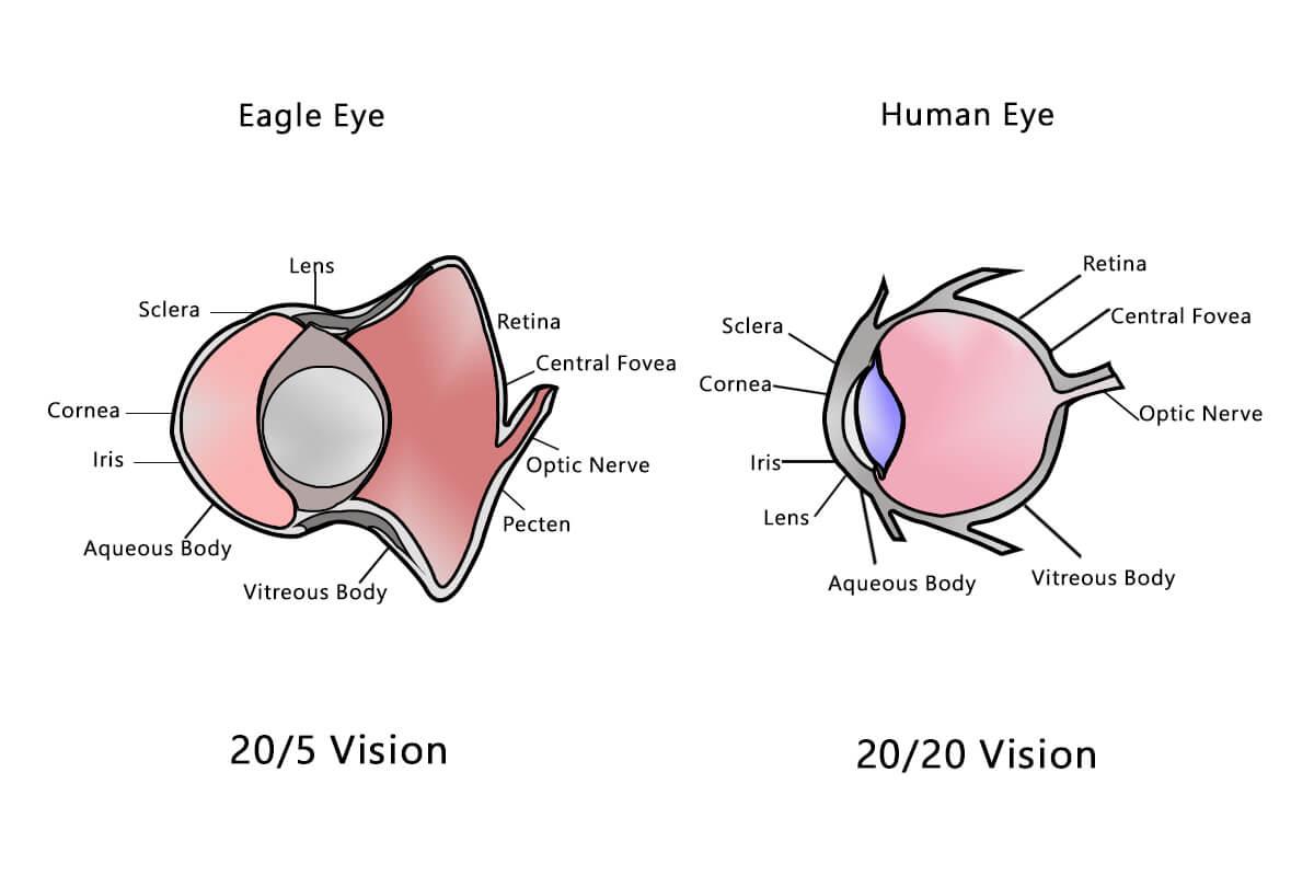 Human Vision Vs Eagle Vision