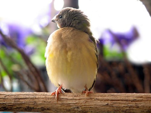 800px-young-gouldian-finch
