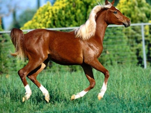 caballo_pelo_blanco