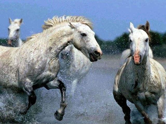 caballos_pura_sangre